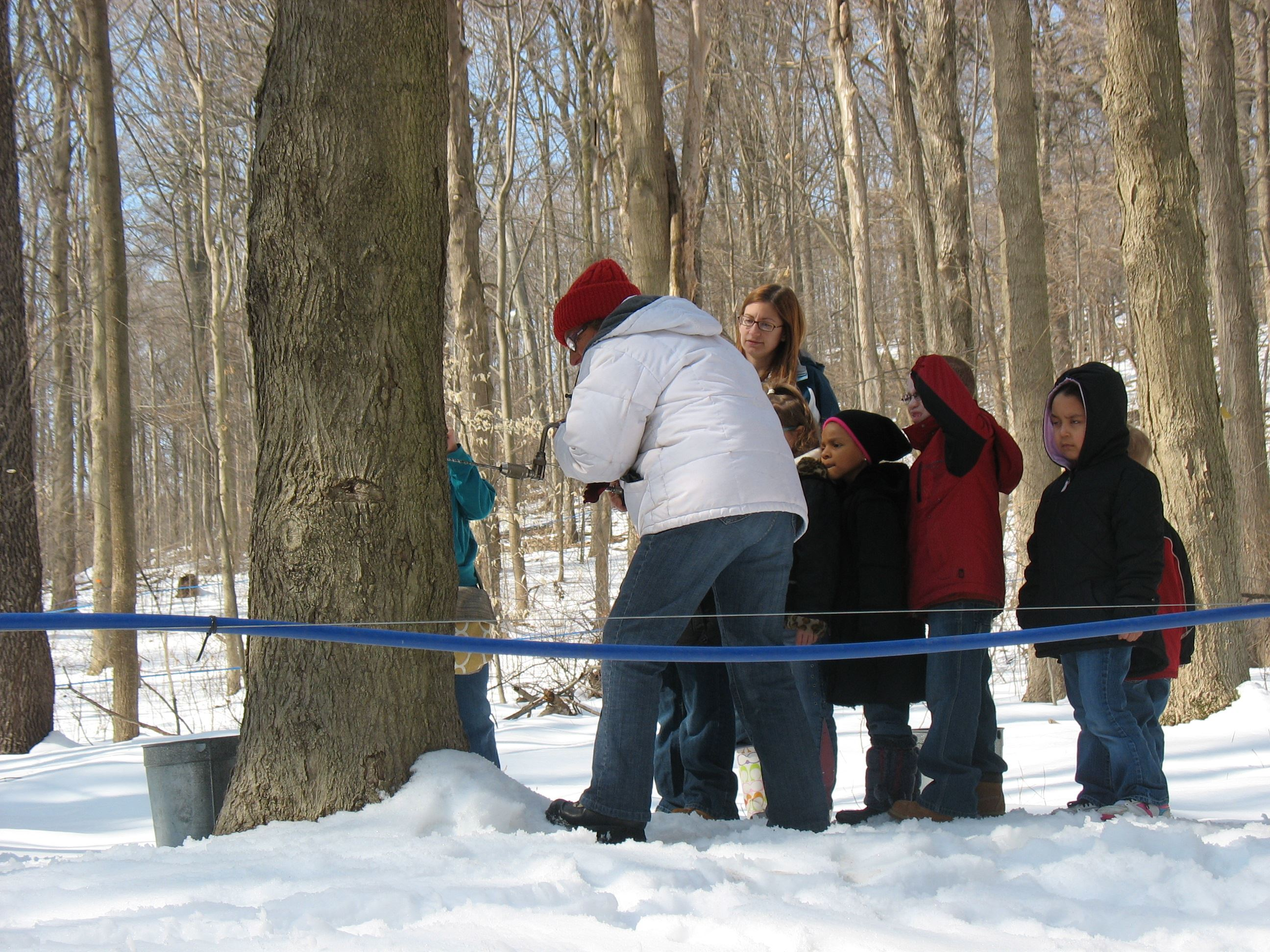 families tap a maple tree