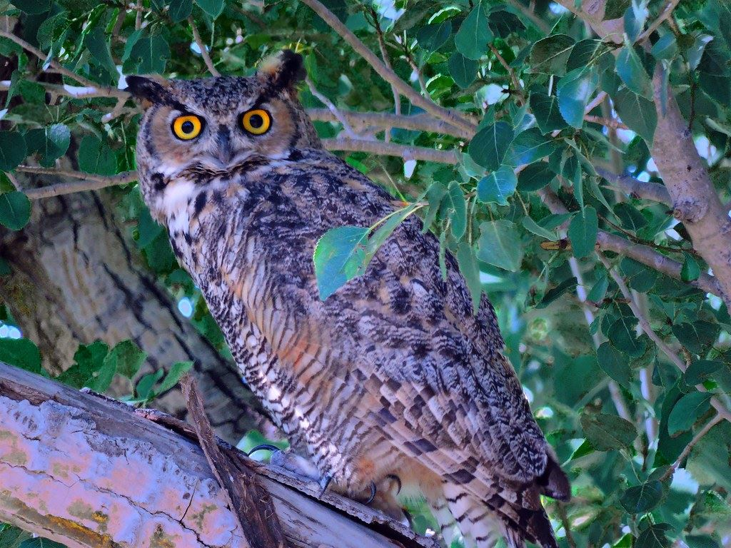 great horned owl sits in tree